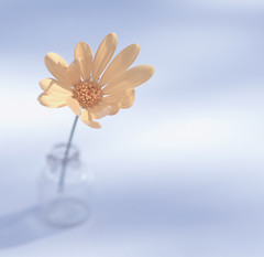After women, flowers are the most lovely thing God has given the world. (z_a_r_a___c_a_l_i_s_t_a) Tags: flower still life bottle yellow orange simple minimalism african daisy light