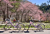 Cherry Blossoms (Jennifer 真泥佛) Tags: cherryblossoms 櫻花 桜 台湾 台灣 花卉 紅粉佳人 武陵農場 台中市