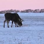 Two Moose thumbnail
