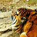 Male Sumatran Tiger, Guntur of Yokohama Zoological Gardens : スマトラトラのガンター(よこはま動物園ズーラシア)