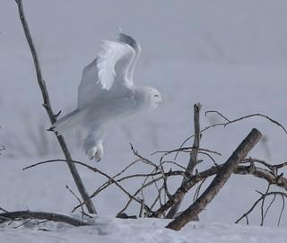 Harfang des neiges - Snowy Owl (Mâle)
