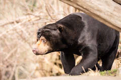 Sun Bear (SKAC32) Tags: edinburghzoo rzss scotland sigma150600contemporary sunbear