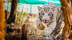 White Tiger Cub (raveclix) Tags: raveclix india incredibleindia canon sigma canon5dmarkiii sigma150500mmf563apodgoshsm bannerghattabiologicalpark bannerghatta bangalore karnataka pantheratigristigris whitetiger tiger zoo