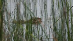 Beverrat (Rob van t Padje) Tags: diereninhetwild flickr zoogdieren saintmichelenbrenne centre frankrijk
