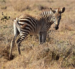 """Wow! I'm All Alone"" (The Spirit of the World) Tags: zebra youngzebra stripes animal wildlife nature nairobinationalpark kenya eastafrica africa nairobi young brown"