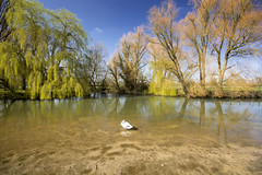 Spring is here at last (gopper) Tags: lechlade swindon wiltshire gloucestershire sunny spring swan bird birds sky tree river thames riverthames clear nikon d7100 ngc sigma 1020mm supershot