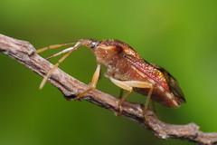 Sap sucker (Rundstedt B. Rovillos) Tags: stinkbug shieldbug pentatomoidea bug insect insecta insekto insekten insecte insekt nikond300 nikkor1855mm nikonsb400 reverselensadapter diykfcflashdiffuser diyflashdiffuser kfcdiffuser kfcflashdiffuser kentuckyfriedchickenplasticbucketlid reverselens reverselensmacroshoot macro macrophotography onehandmacroshootmethod straightoutofcamera sooc rundstedtbrovillos