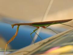 Praying Mantis in the Morning (Sarah Constancia Photography) Tags: nebraskatrip praying mantis insect prayingmantis