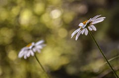 Double (Lisette~Photographie) Tags: wood light blur flower art nature colors backlight forest soft mood dof bokeh magic atmosphere daisy dreamy naturr