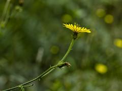 The lion (klic_ros) Tags: naturaleza flower nature flor canon600d tamron90vcmacro