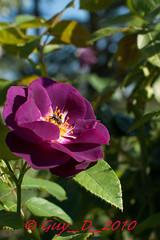 Rose ancienne (Guy_D_2010) Tags: flower rose flor blumen blomma quintaflower bunga  blume fiore blomst gul virg hoa bloem lill blm iek  kwiat blodyn   lule kukka d90   cvijet  blth cvet  zieds  gl kvtina kvetina floare  chaumontsurloire languageofflowers   fjura    voninkazo esenciadelanaturaleza