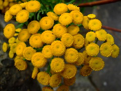 Tanacetum ''vulgare'' (yewchan) Tags: flowers flower nature colors beautiful beauty closeup garden flora colours gardening vibrant blossoms blooms lovely tansy tanacetum tanacetumvulgare goldenbuttons
