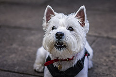 26 August 2015 (Kitty W) Tags: dog pet animal westie posie