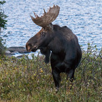 Bull Moose poses for pictures in front of Long Lake thumbnail