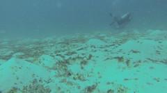 Flamboyant Cuttlefish (hopkins211) Tags: macro scuba cuttlefish flamboyant komodo besar siaba