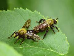 Robber Flies Mating - Laphria flavicollis (midimatt) Tags: wisconsin flies mating wi newburg robberflies saukville ozaukee laphriaflavicollis riveredgenaturecenter mattdrollinger matthewdrollinger