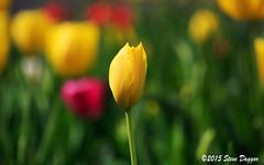 0S1A0227 (Steve Daggar) Tags: flowers flower tulip canberra floriade