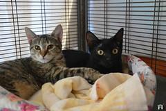 Furia&Nerino (.Vale.) Tags: cats baby animals cat kitten feline kitty kittens gatto gatti rifugio micio micia gattino gatta catshelter gattini micini