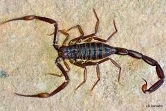 Troglorhopalurus translucidus (aracnologo) Tags: scorpion buthidae alacrn escorpio scorpiones translucidus troglorhopalurus