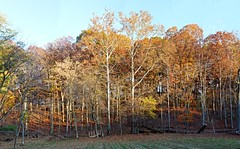 Wall of trees-sunset November 5 2015-s (clw_and_dog) Tags: panorama art landscape photography photo fineart images panoramic photographic photographs fineartphotography panoramics panograph panogram panoramiclandscape panoscape newmexicophotography marylandphotography panogaph panoramiclandscapephotos
