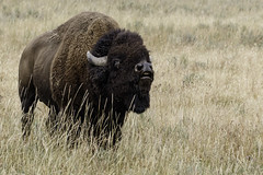 Flehmen behaviour in an excited Bison Bull (Alan Vernon.) Tags: male female fur mammal cow buffalo bullock coat bull ox upper organ american valley lip yellowstone wyoming plains bison bovine reproduction scents grasslands curling rut smelling pheromones behaviour inhaling flehmen vomeronasal