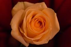 The rose (ankarals) Tags: flower macro rose canon ilovenorway allwhatsbeautiful