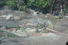 "Iguanas in St. Martin • <a style=""font-size:0.8em;"" href=""http://www.flickr.com/photos/28558260@N04/22666776569/"" target=""_blank"">View on Flickr</a>"