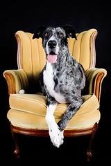 Lady Quinn (Jen St. Louis) Tags: dog pet pets ontario canada dogs studio chair elmira greatdane quinn pawprints dogphotography petportrait petportraits petphotography dogportrait goldchair jenstlouis wwwpawprintsphotosca