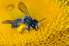 Food, Food, Food! (Calle Söderberg) Tags: macro canon5dmkii canonef100mmf28usmmacro canon raynox dcr250 yongnuo yn14ex insect bee apoidea pollen bi fuzzy fuzz giantoxeyedaisy telekia speciosa daisy strålöga gul gult buphtalmum speciosum andrena miningbee sandbi denticulata tandsandbi greybandedminingbee grävbi ringflash flash specinsect ngc npc 5d2 canoneos5dmarkii andrenidae andreninae