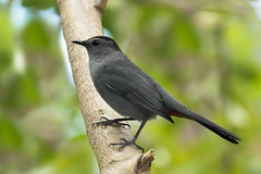 Gray Catbird (Dumetella carolinensis), Miami, Florida (kmalone98) Tags: wildlife aves graycatbird greycatbird dumetellacarolinensis mimidae dumetellacarolinensisgreycatbird mockingbirdsandthrashers