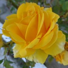 P1140748 (omirou56) Tags: flowers flower macro nature rose yellow garden europe natur 11 greece peloponnese peloponnisos peloponisos φυση τριανταφυλλο κιτρινο κηποσ πεταλα panasoniclumixdmctz40