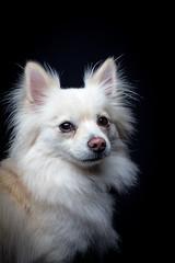Bowdee (Halans) Tags: dog pet pomchi bowdee pomeranianchihuahuacross