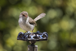 Superb Fairywren 2015-12-14 (_MG_7081)