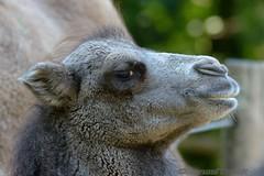 D - Mnster i./W. > Allwetterzoo < August 2015 (BonsaiTruck) Tags: animals zoo tiere tierpark mnster kamel allwetterzoo