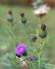 Bull Thistle (Cirsium vulgare) (Plant Image Library) Tags: autumn flower fall field thistle seed bull bee bumble botany wildflower cirsium vulgare