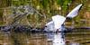 Gull attack (Steve-h) Tags: bushypark nature natural natur natura naturaleza bird gull attack smashdown water spray pond dublin ireland europe herringgull digital exposure ef eos canon camera lens auumn fall october 2015 reflections white green orange steveh