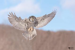''Dans le vent!'' Chouette épervière/Northerm hawk owl