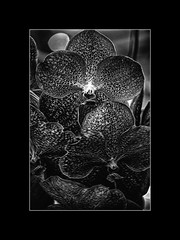 Black Orchid (Photographie. การถ่ายภ) Tags: black orchid orchidées thai monochrome