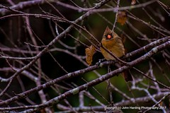 Matriarch (T i s d a l e) Tags: tisdale matriarch bird northerncardinal female winter farm january 2017 easternnc