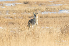 The Coyote scopes the scene out