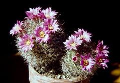 Mammillaria zeilmanniana Freudenstadt März 1961 (Martin Theodor) Tags: mammillaria zeilmanniana