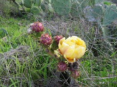 Cactaceae, Opuntia littoralis, Coast Prickly-Pear (aking1) Tags: cactaceae coastpricklypear opuntialittoralis sandiego california unitedstates