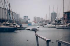 Like a Seagull in winter (FButzi) Tags: genova genoa italy italia seagull porto antico gabbiano matitone