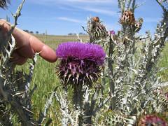 Onopordum illyricum flowerhead7 CWS (Macleay Grass Man) Tags: asteraceae onopordum illyricum taxonomy:binomial=onopordumillyricum illyrian thistle