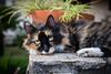 Eyes (GiacomoDiego) Tags: gatto cat gatti cats spotted maculato animal animale animali animals natura nature occhio eye occhi eyes naso nose colori colors pelliccia fur giardino garden
