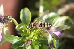 Marmalade Hoverfly ~ Episyrphus balteatus ~ Weybourne Garden (2) (Rowettia) Tags: norfolk uk weybourne weybournegarden diptera episyrphusbalteatus marmaladehoverfly hoverfly
