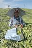 PhotAsia - Thekkady, Kerala, India (Photasia) Tags: harrisonsmalayalam india kerala khekkady photasia southindia christmas pattumallay tea teacutter tealady teaplantation travelphotography