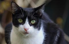 Mira Wishes You ... (AnyMotion) Tags: mira portrait porträt porträtaufnahmen pet cat cats katze katzen animals tiere garden garten 2016 anymotion blackandwhite schwarzweis blancoynegro félin chat gata