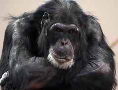 chimpanzee Burgerszoo JN6A1550 (j.a.kok) Tags: burgerszoo chimapnsee chimpanzee mammal mensaap aap ape monkey pantroglodytes primaat primate afrika africa