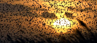Golden Plovers and Starlings at sunset